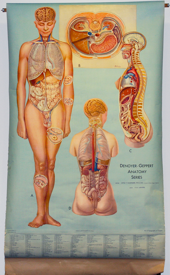 Topography Of Organs Early 20th Century Anatomical Wall