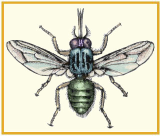 Diseases Spread by Flies: Myiasis and African