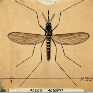 The Aedes Aegypti Mosquito, coloured drawing by Amedeo John Engel Terzi. Courtesy of the Wellcome Library, London, Wellcome Images: images@wellcome.ac.uk http://wellcomeimages.org/
